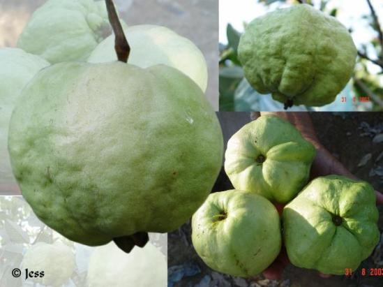Seedless guava looks a bit of a retard compared to its non seedless variety.
