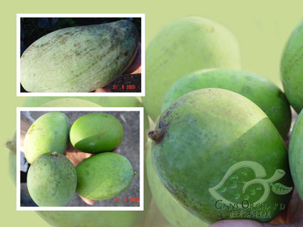 Varieties of mango