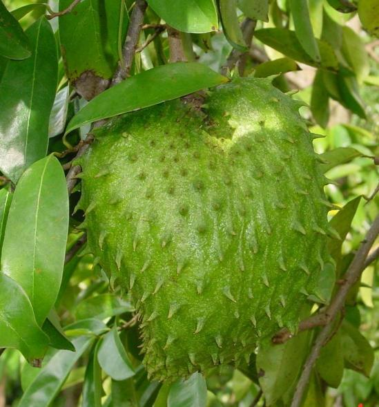 A soursop fruit hanging from the branch.